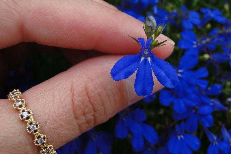 Fragility Beauty In Nature Flower Flor Azul Blue Blue Flowers Petal Petal_perfection Natureza Nature Cute Flowers Lobelias Lobelia Lobellia Lobelia Flowers Petals Flower Hand