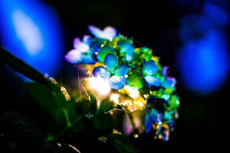 曇ってストロベリームーン見えないので紫陽花。 Illuminated Night Selective Focus Close-up Blue No People Plant Lighting Equipment Nature Focus On Foreground Light - Natural Phenomenon Growth Glowing Green Color Outdoors Flowering Plant Beauty In Nature Freshness Electric Light