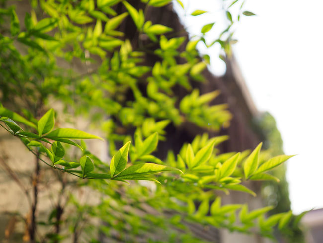 Growing Morning Light Small Alley Travel Alleyway Beauty In Nature Close-up Day Freshness Golden Yellow Good Morning Good Vibes Green Color Growth Leaf Leaves Little Things Nature No People Plant Plant Part Start Fresh Sunlight Transparency Tree