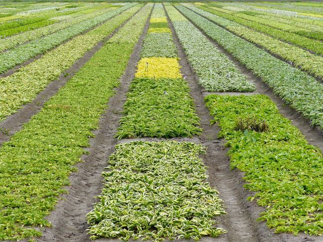 Agriculture In A Row Growth Green Color Rural Scene Vegetable Farm Crop  Field Nature Abundance Healthy Eating Variation No People Freshness Day Outdoors Herb Plant Beauty In Nature Flowerfield Flowers