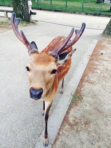 Deer Travel Photography Eye Best Shot EyeEm Japan 日本 奈良 Deer 鹿 Animal Themes One Animal Day Mammal Outdoors No People Looking At Camera