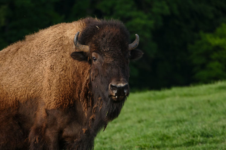Farmland American Bison Animal Themes Bison, Buffalo, Blackbirds, Wyoming, Wild, Animal, Horns, Fur, Raw, Close-up Day Domestic Animals Field Grass Mammal Nature No People One Animal Outdoors Portrait Standing