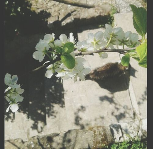 Feline Whiteflower Fiori