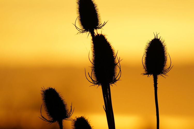RSPB Seed Heads Beauty In Nature Close-up Day Flower Flower Head Fragility Growth Nature No People Outdoors Plant Rainham Marshes Saguaro Cactus Silhouette Sky Sunset Teasle Thistle Tranquility