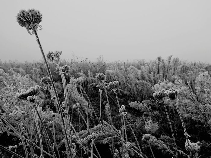 Nature Plant Growth Beauty In Nature Flower No People Field Outdoors Tranquil Scene Sky Fragility Day Geometry Plant Beauty In Nature Frost Winter Simple Moment Germany Landscape Natural Pattern Tranquility Foggy Fog Agriculture