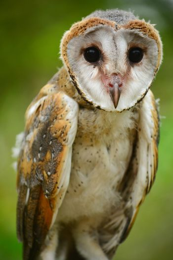 Close-up portrait of barn owl