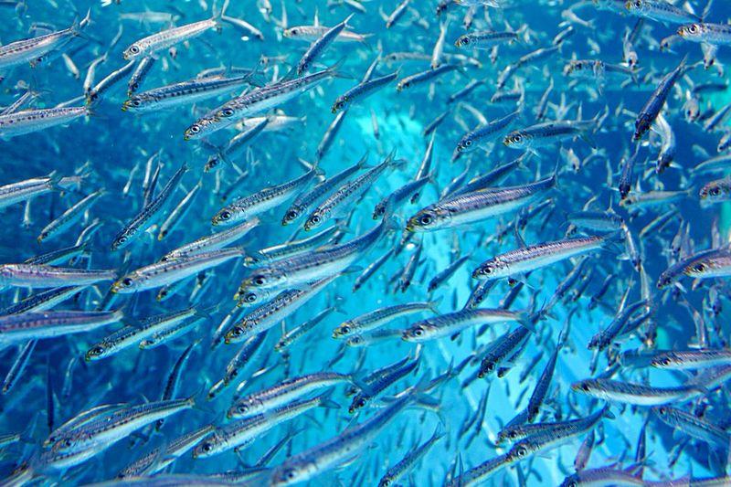 Sardines swimming underwater at aquarium