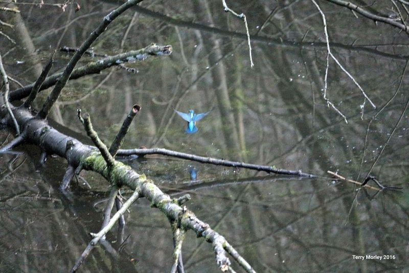 kingfisher at work Skipton Fun In The Sun Yorkshire Welcome To Yorkshire Flight Nature Birds Of EyeEm  Bird Photography Fishing Pond Life Shades Of Blue The Hunter