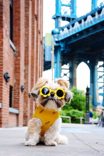 Superstar waiting for a cab 🚕 Shih Tzu Shihtzu Shih Tzu Love Dog Love Dogs Of EyeEm Dogs Dog Dog Pets One Animal Humor Animal Themes Domestic Animals Built Structure Pet Clothing Building Exterior Portrait Full Length