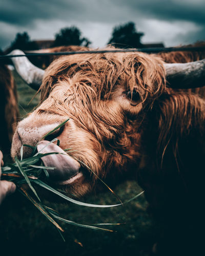 Highland Cattle Feeding Tongue Animal Animal Hair Animal Head  Animal Themes Brown Close-up Cute Day Domestic Animals Domestic Cattle Focus On Foreground Herbivorous Highland Cattle Livestock Mammal No People One Animal Outdoors Switzerland Zoology
