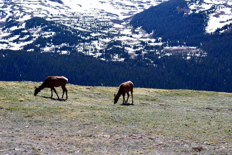 Elk grazing in