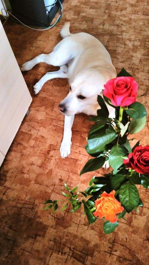 Nameday Roses Pink Rose Red Rose Orange Rose Labrador Retriever Labrador I Love It ❤ Jaydee 😍👌