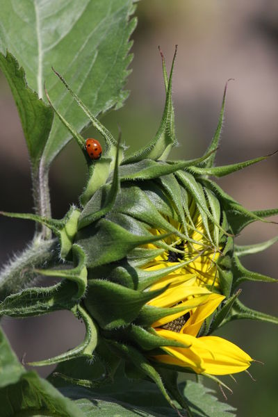 Animal Themes Beauty In Nature Close-up Day Green Color Insect Ladybug Leaf Nature No People Outdoors Plant Summertime Sunflower Sunflower Head