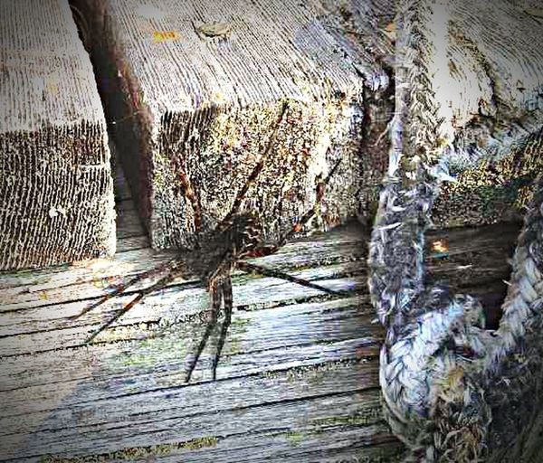Dock Spider catching some rays and watching us swim! Northern Ontario Nature On Your Doorstep POV Of Dee Spider Docks Large Spider Swimming Buddy