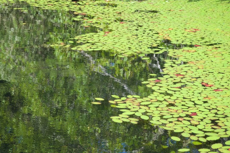 Leaf Water Nature Floating On Water Water Lily Lily Pad Growth Green Color Floating Lake Beauty In Nature Reflection Waterfront Plant Outdoors Tranquility No People Day Water Plant Siltcos Lake Oregon Water Lillies Serenity