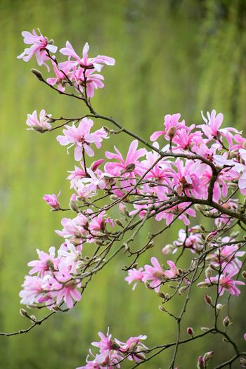 Magnolias Blooming Magnolienknospe Pink Color Cloud - Sky Magnolia Loebneri Blossom Branch Almond Tree Freshness Plant Close-up Growth Magnolia Tree Magnolia Stellata Beauty In Nature Springtime Scenics Fragility Nature Landscape