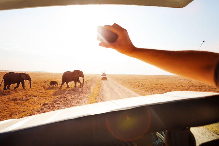 Cropped hand photographing elephants on smart phone during safari