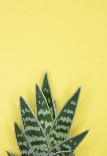 Close-up of succulent plant against yellow background