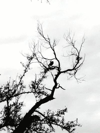 The lone hawk scoping for prey. EyeEm Birds Hawk Birds_n_branches Bird Photography Birdwatching TreePorn Hugging A Tree Ranch Life Blackandwhite Popular Photos