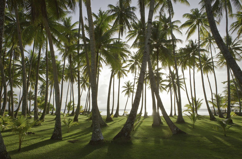 Coconut palm trees at Chuuk beach, Micronesia Micronesia Pacific Beach Beauty In Nature Chuuk Coconut Palm Tree Coconut Trees Day Grass Green Color Growth Nature No People Outdoors Pacific Ocean Palm Tree Scenics Sunset Tree