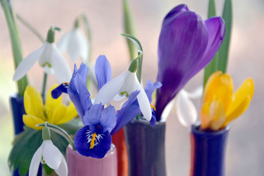 Collection of spring flowers Colourful Small Flowers Vase Beauty In Nature Blooming Close-up Crocus Eranthis Hyemalis Flower Flower Collection Flower Head Fragility Freshness Growth Nature No People Petal Plant Snowdrop Spring Springflowers Springtime Blossoms Vase Of Flowers Winter Aconite