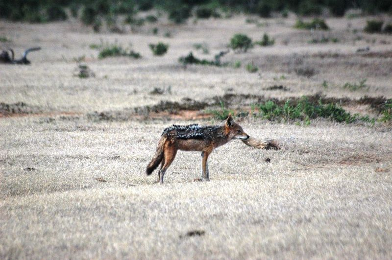 Black backed Jackal EyeEm Selects One Animal Animal Themes Animals In The Wild Field Grass Day Nature Animal Wildlife Outdoors Mammal No People