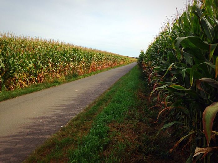 Cornfield Mais Street Plant Field The Way Forward Sky Grass Green Color Nature After The Road Road Long Road Autumn Mood