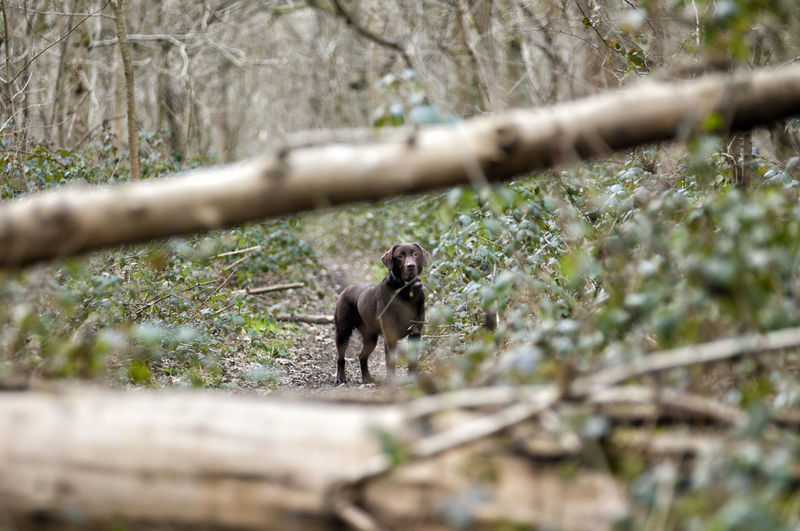 Dog Walking Dogs Domestic Animals Labrador Retriever One Animal Outdoors Selective Focus Taking Pictures Woodland Walk