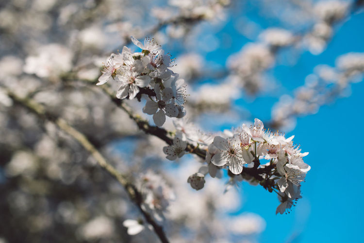 Flower Flowering Plant Fragility Plant Freshness Vulnerability  Beauty In Nature Growth Blossom Close-up White Color Day Springtime Nature Focus On Foreground Tree Cherry Blossom Petal No People Branch Flower Head Cherry Tree Outdoors Pollen Bunch Of Flowers Springtime Decadence