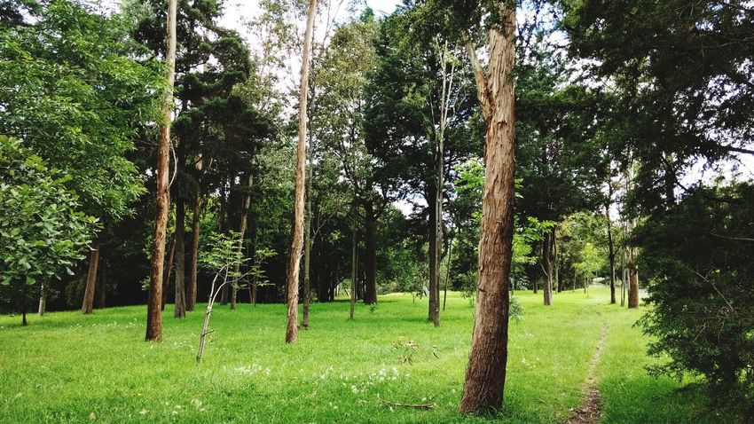 Tree Growth Green Color Nature Grass Beauty In Nature Outdoors Day No People Tree Trunk Park - Man Made Space Tranquility Branch Sky Mexico City Chapultepec CDMX Cdmx2017 Park Pathway Beauty In Nature Growth Nature Green Color