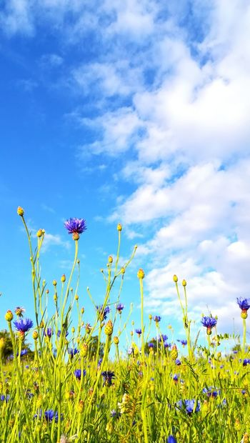 Blue Flowers Wildflower Nature Cloud - Sky Beauty In Nature Cornflower Blue Bachelors Button Cornflowers Flowers Flowers, Nature And Beauty Huawei P9 Lite Huaweip9lite Art Is Everywhere Outdoors Nature's Diversities Nature On Your Doorstep Nature_collection