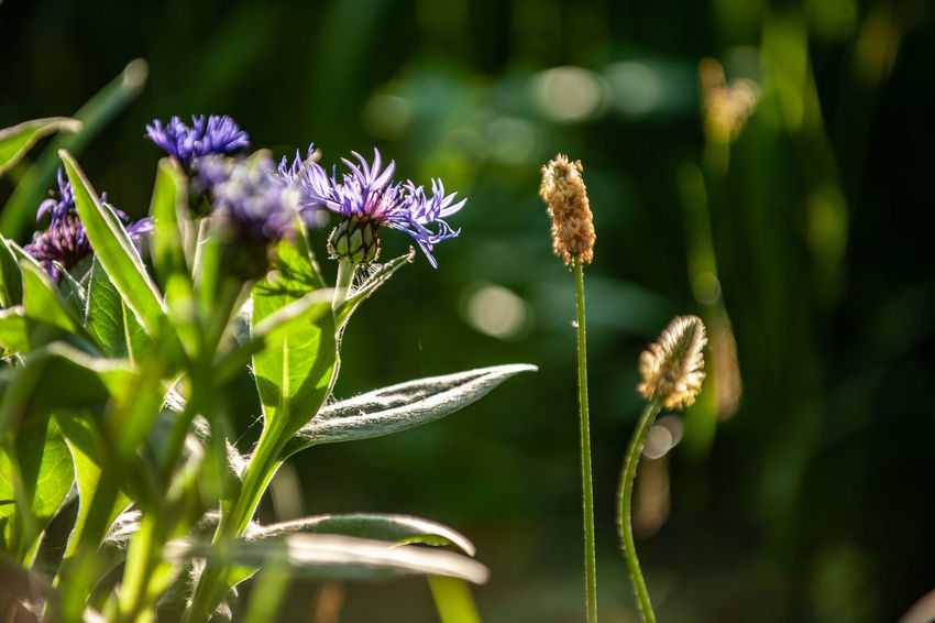Plantago Lanceolata Beauty In Nature Centaurea Montana Close-up Day Flower Flower Head Flowering Plant Focus On Foreground Fragility Freshness Green Color Growth Inflorescence Insect Medical Plant Nature No People Petal Plant Pollination Purple Selective Focus Sunlight Vulnerability