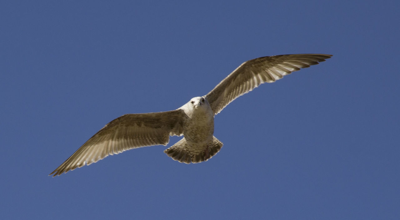 flying, spread wings, one animal, animals in the wild, bird, animal themes, clear sky, low angle view, mid-air, animal wildlife, no people, blue, day, outdoors, nature, bird of prey, pelican, sky, close-up