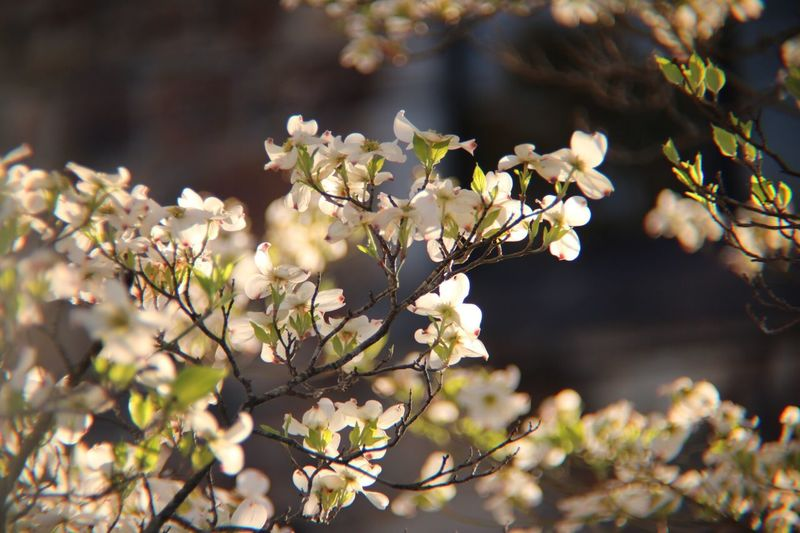 Dogwoodflowers Growth Nature Flower Beauty In Nature Freshness Fragility Tree Blossom Twig Springtime Close-up No People Petal Outdoors Branch Day Blooming Plum Blossom Flower Head