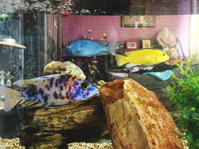 Cichild Aquarium Photography @home Sweet Home Multi Colored Fishporn Water Rainbow Cichild Dolphin Cichild Banana Cichild