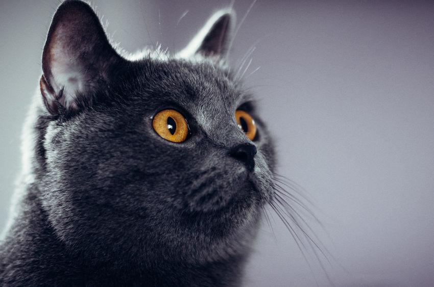 Portrait of a curious cat... Cat Lovers Cat Karthäuser Animal Cute Cats Cute Pets Cute Klaquax@home Pet Portraits