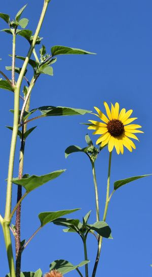 Low angle view of sunflower against blue sky
