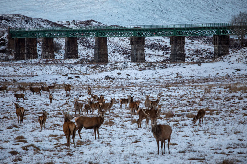 Animals In The Wild Deer Nature Scotland Tadaa Community Winter Landscape No People Rannoch Moor Snow