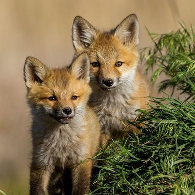 Two Foxes outside their den. I hope I get this experience again someday. Utah Fox Nature