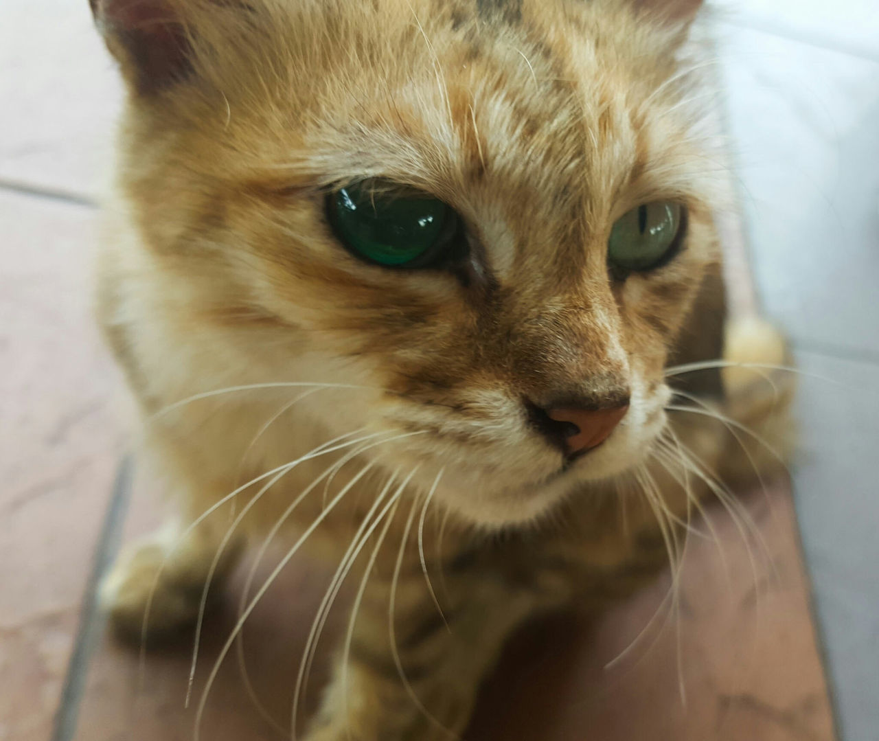 domestic cat, one animal, animal themes, pets, mammal, domestic animals, whisker, feline, looking at camera, portrait, close-up, no people, indoors, day