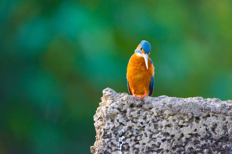 Close-up of kingfisher perching on rock