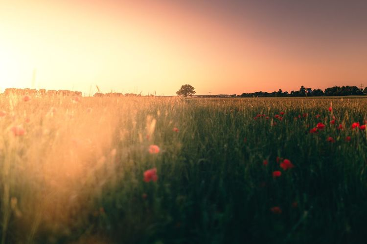 Field Nature Flower Growth Beauty In Nature Plant Tranquility Tranquil Scene Sunset No People Landscape Rural Scene Outdoors Poppy Scenics Clear Sky Day Fragility Freshness Sky
