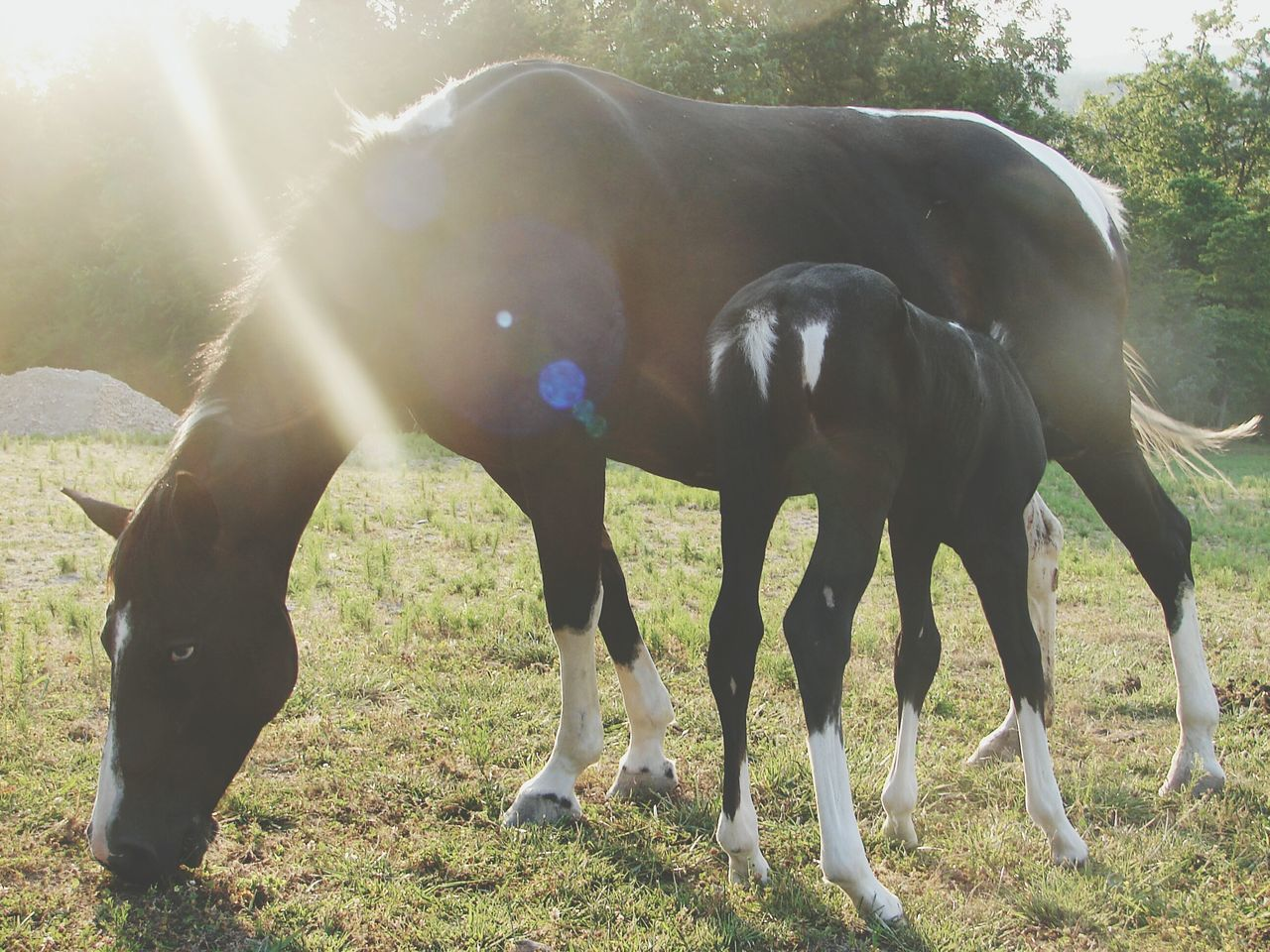 Black Horse Feeding Foal On Grassy Field During Sunny Day