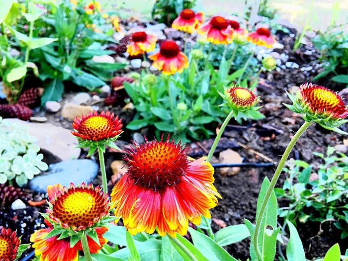 Flower Fragility Growth Nature Plant Beauty In Nature Petal Freshness Flower Head Outdoors Day No People Blooming Leaf Coneflower Springtime Eastern Purple Coneflower Close-up Black-eyed Susan Flowers,Plants & Garden Flower Collection Freshness Garden Photography Happy Flowers