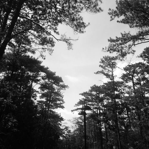 Pines 🌲. Firstb&w Black White Blackandwhite Photography Philippines Baguio Baguiocity Wheninphilippine Trees Plants