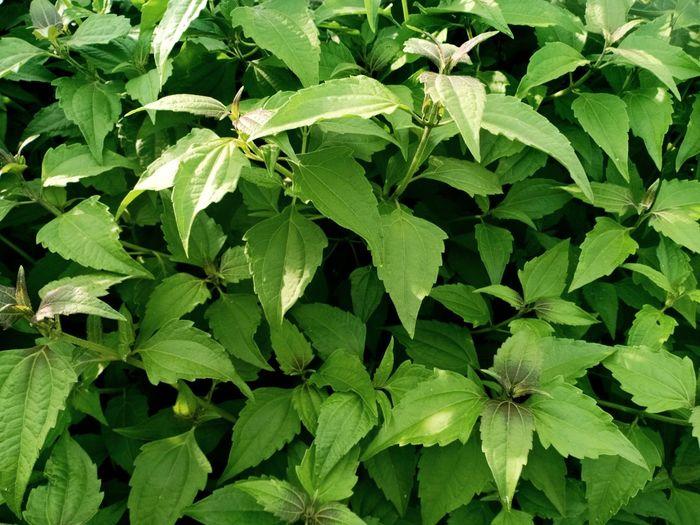 Greenleaf Leaf
