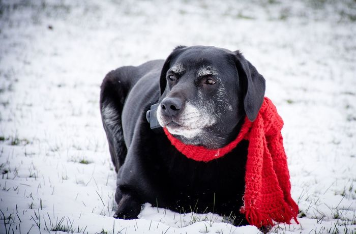 Black lab lying in the snow Dog Pets Domestic Animals Animal Themes One Animal Snow Winter Pet Collar Outdoors Black Color Focus On Foreground Black Labrador Cold Temperature Labrador Retriever No People Canine EyeEmNewHere The Week On EyeEm EyeEm Best Shots