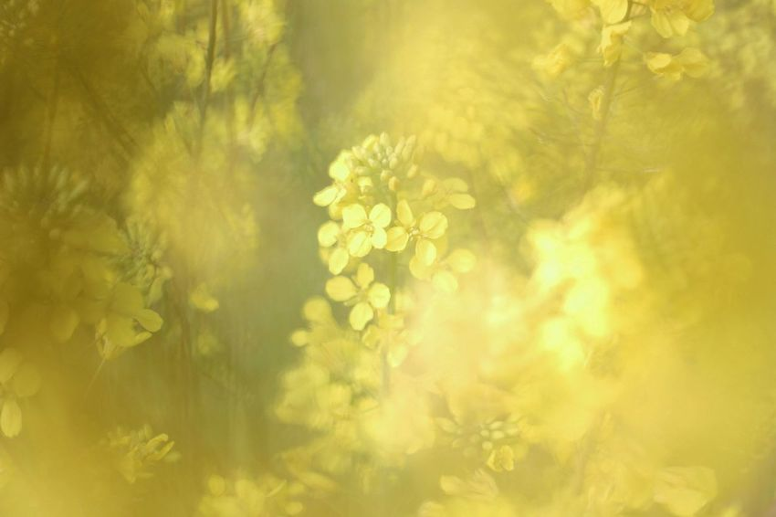 Springtime Spring Flowers Spring Japan Photography Japan 春色 Flower Head Flower Tree Illuminated Defocused Beauty Yellow Backgrounds Gold Colored Painted Image Plant Life