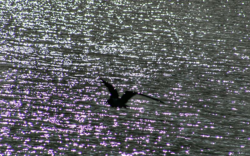 Seagull in flight Harbour Birds🐦⛅ Grenada Bird Silhouette Birdinflight