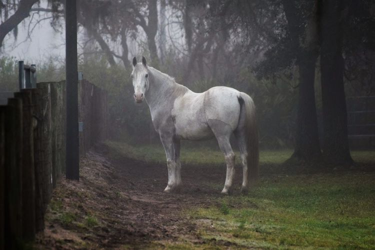 Animal Themes Day Domestic Animals Field Forest Full Length Gray Horses Grey Day Grey Horse Horse Livestock Mammal Nature No People One Animal Outdoors Standing Tree Nikond300 Nikonphotography BYOpaper Pet Portraits